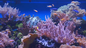 Unterwasserkorallenriff und tropische Fische stock footage