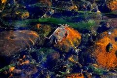 Unterwasserkrabbe Lizenzfreies Stockfoto