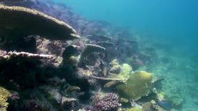 Unterwasserlandschaft des Korallenriffs maldives stock video footage