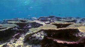 Unterwasserlandschaft des Korallenriffs maldives stock video