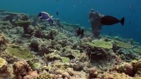 Unterwasserlandschaft des Korallenriffs maldives stock footage