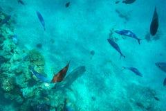 Unterwasserlandschaft des Roten Meers mit tropischen Fischen lizenzfreie stockfotografie