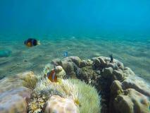 Unterwasserlandschaft mit Clownfischen im Actinia Unterseeisches Foto Clownfish Stockfotografie