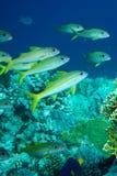 Unterwasserlebenlandschaft im Roten Meer Lizenzfreies Stockbild