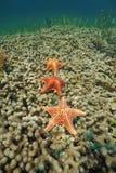 Unterwassermeer mit drei Kissenseesternen auf Koralle Lizenzfreies Stockbild