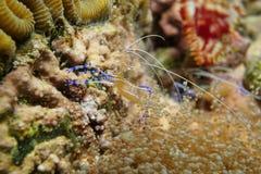 Unterwassermeeresflora und -fauna Pederson-Putzergarnele Stockfotos