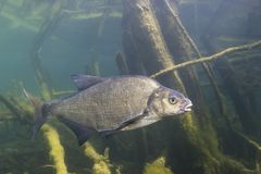 Unterwasserphotographie von Karpfenbrachsen Abramis Brama stockfotos