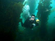 Unterwasserphotographschwimmen durch das Kelp Lizenzfreies Stockfoto