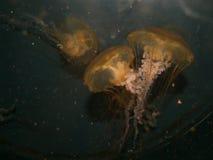 Unterwasserquallen-Paare Lizenzfreie Stockfotos