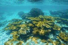 Unterwasserriff mit elkhorn korallenrotem karibischem Meer Stockfoto