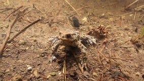 Unterwasserschuß einer männlichen Kröte, die zu Boden klinging ist stock footage