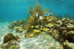 Unterwasserschwimmen der tropischen Rifffische nahe Korallen Stockfotografie