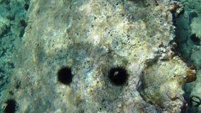 Unterwasserseeigel im klaren Wasser Stockbilder