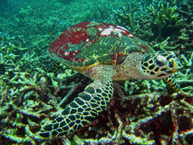 Unterwasserseeschildkröte Stockfoto