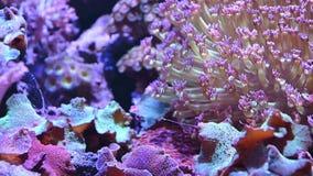 Unterwasserszene 4K der Anemone und der Koralle stock footage