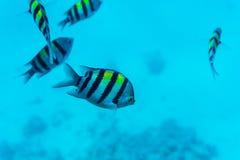 Unterwasserszene mit Korallenriff und Fischen fotografierte im seichten Wasser, Rotes Meer, Ägypten Lizenzfreie Stockfotografie
