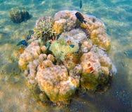 Unterwasserszene mit runden Korallen und tropischen Fischen Stockfotografie