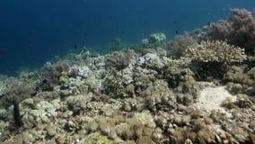 Unterwasserweltmeeresflora und -fauna von Bali Indonesien stock video