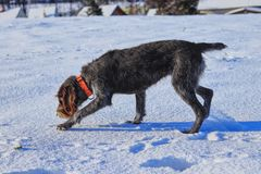 A untiring female dog looking for a track in snow. A Bohemian Wire-haired Pointing Griffon or korthals griffon playing in snow on. Garden royalty free stock image