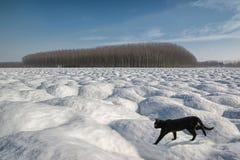 Untitled. Black cat walking on snow Stock Photo