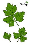 Parsley isolated on white background. Vector illustration. Parsley isolated on white background. Hand drawn vector sketch illustration royalty free illustration