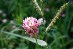 Untitled. Pink wild flower Stock Images