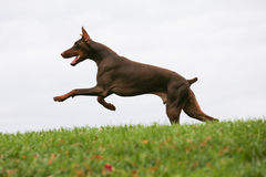 Dog Running in the grass. Young dog running and leaping in the grass Stock Image