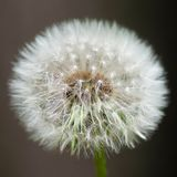 Untouched dandelion Royalty Free Stock Images