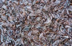 Untouched ground covered in frosty plum leaves background patter. A background pattern of untouched frozen leaves from the plum tree and oaks. White and brown Stock Images
