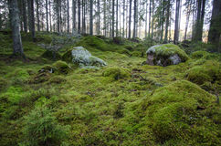 Untouched and mossy forest ground. Untouched and mossy green ground in an old virgin forest Royalty Free Stock Photography