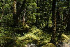 Untouched nature - old forest. Ancient beech forest near Queenstown, New Zealand. Old trees, untouched moss, beautiful lighting Stock Photo