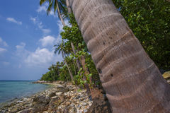 Untouched tropical beach of Thailand. Palm tree closeup Royalty Free Stock Photo