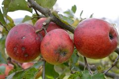 Untreated apples on a tree. Unsprayed, partly sick apples on an apple tree - closeup Royalty Free Stock Image