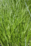 Untreated grass Royalty Free Stock Photo