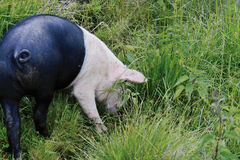 Untypical two-coloured pig. Two-coloured pig on a grass Stock Photography