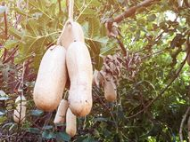 Sausage tree Kigelia africana fruits hanging in tree. Unusual African sausage tree with sausage like fruits that hang down from the limbs on long rope like Royalty Free Stock Photo