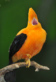 Unusual andean of the rock bird Royalty Free Stock Images