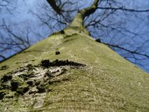 Unusual angle of view along a smooth beech tree bark with a striking scar on the left side Royalty Free Stock Photos