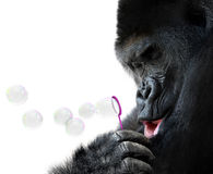 Unusual animal portrait of a gorilla blowing soap bubbles with a toy bubble wand Royalty Free Stock Image