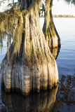 Unusual barrel bald cypress (Taxodium distichum) Royalty Free Stock Images