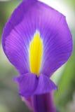 Unusual Beautiful tender iris flower background Royalty Free Stock Photo