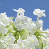 Unusual Beautiful tender white flowers background Stock Photography