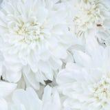 Unusual Beautiful tender white flowers background. Unusual Beautiful tender white flowers close up background Stock Photo