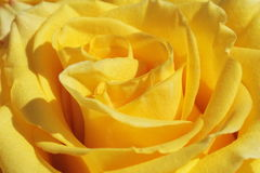 Unusual Beautiful tender yellow rose background Stock Photos