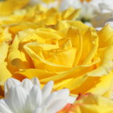 Unusual Beautiful white and yellow flowers background Royalty Free Stock Images