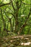 Unusual beech tree stock photography