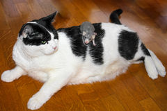 Unusual BFF pets. A big fat black and white domestic cat lying on parchet holds back a small gray rat. Concept of unusual BFF pets royalty free stock photography