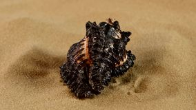Unusual black marine seashell on sand, rotation. Unusual black marine and ocean seashell on sand, rotation, close up stock footage