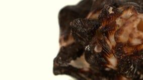 Unusual brown sea shell on black, rotation stock video footage