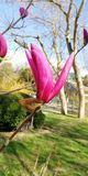 Unusual bud shape of a magnificent pink magnolia stock photography